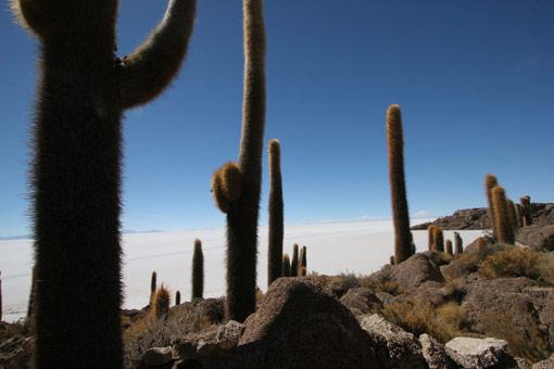 Cacti, Salar de Uyuni, Bolivia