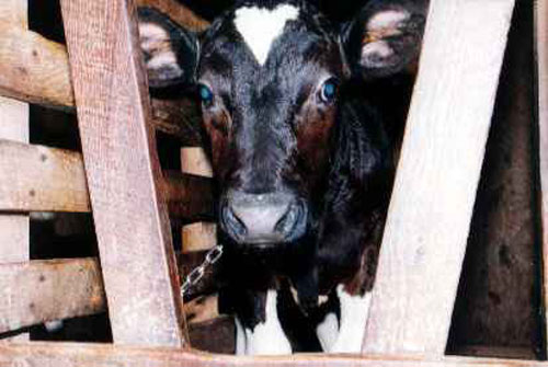 Animal cruelty in the meat industry